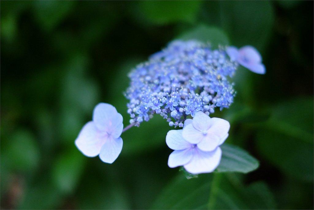 梅雨の最後を惜しむ紫陽花