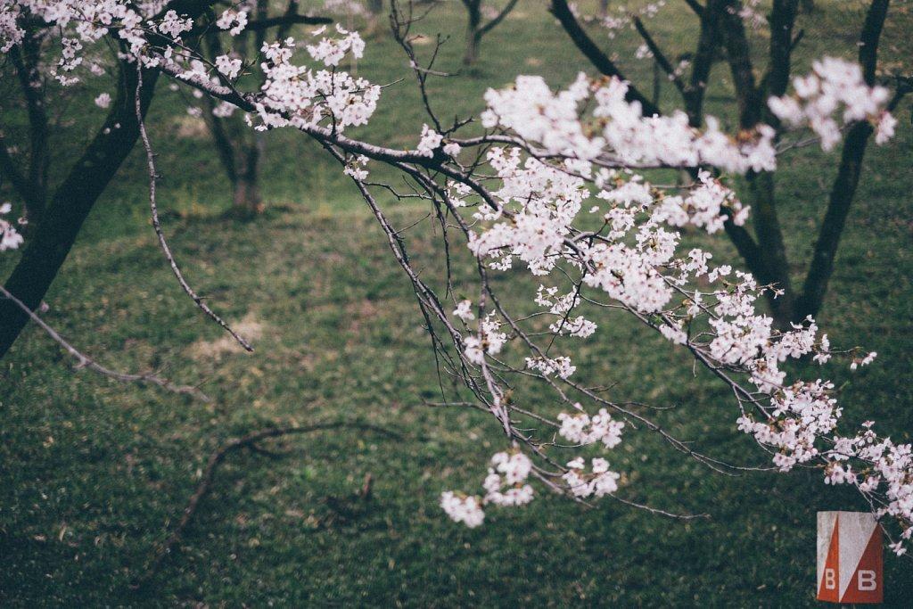 20150409-sakura-005.jpg